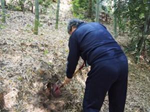 タケノコ掘り2