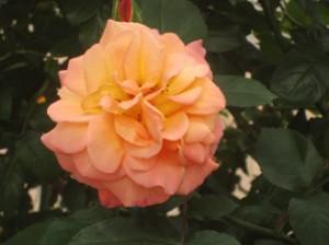 アンネのバラ2014年(オレンジ)
